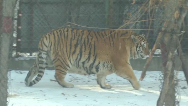 Толстые тигры в Китае - Sputnik Грузия