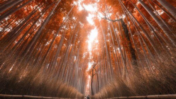 ბამბუკის ტყე კიოტოში - Sputnik საქართველო