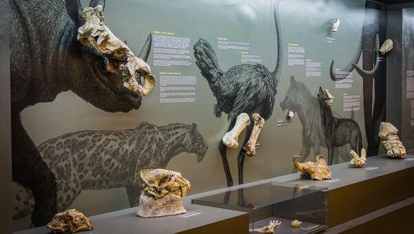 უძველესი ცხოველების ნაშთები მუზეუმში - Sputnik საქართველო