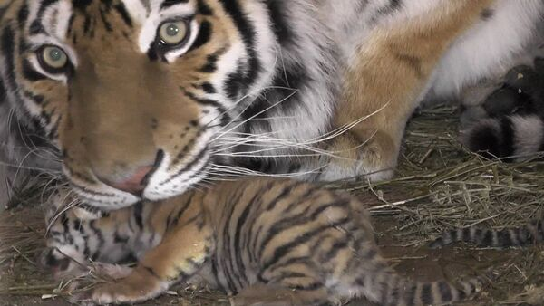 Тигрята в крымском сафари-запарке - Sputnik Грузия