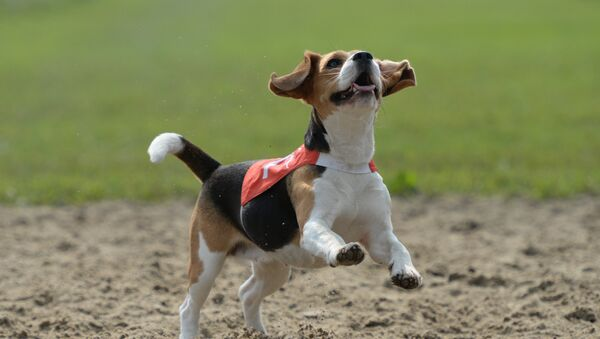 Собака породы Бигль - Sputnik Грузия