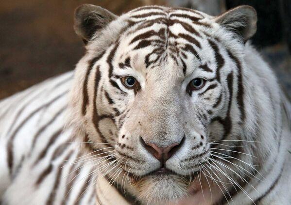 Белый бенгальский тигр - шестилетний Хан, в сибирском зоопарке Роев Ручей в Красноярске, Россия - Sputnik Грузия