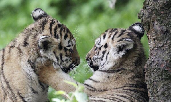 Тигры-близнецы Акина (слева) и Леня играют в зоопарке немецкого города Лейпциг - Sputnik Грузия