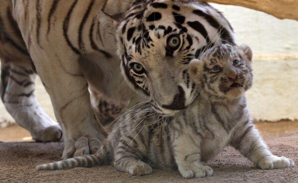 Белый тигренок со своей мамой Сашей в зоопарке San Jorge, Чихуахуа, Мексика - Sputnik Грузия