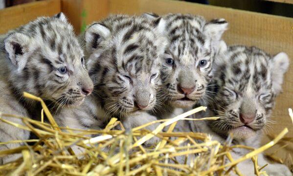 Четыре белых тигренка в зоопарке Kernhof в Австрии - Sputnik Грузия