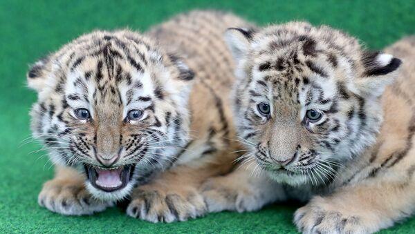 Тигрята ждут вакцинации в зоопарке Лейпцига - Sputnik Грузия