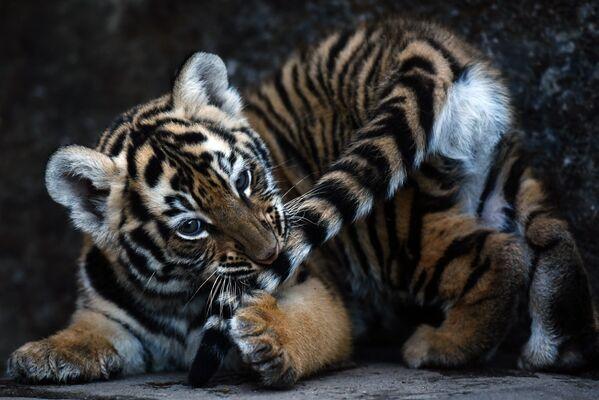 Бенгальский тигренок, которому всего 45 дней, играет со своим хвостом в Wild Shelter Foundation (FURESA) в 40 километрах от Сан Сальвадора - Sputnik Грузия