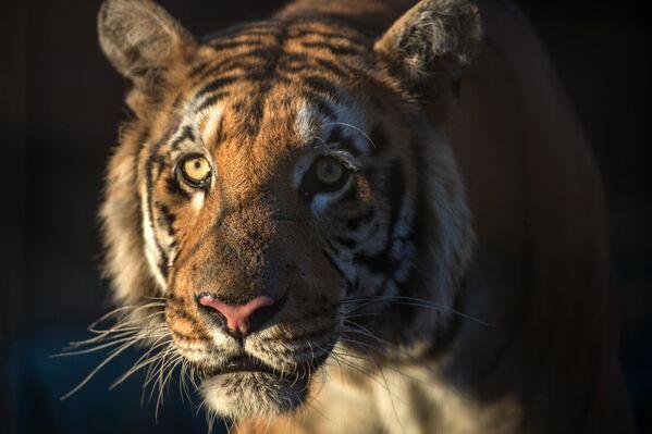 Бенгальский тигр Лазиз из зоопарка Khan Yunis в Газе - Sputnik Грузия