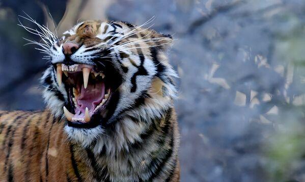 Суматранский тигр Тила в зоопарке Bioparco в Риме - Sputnik Грузия