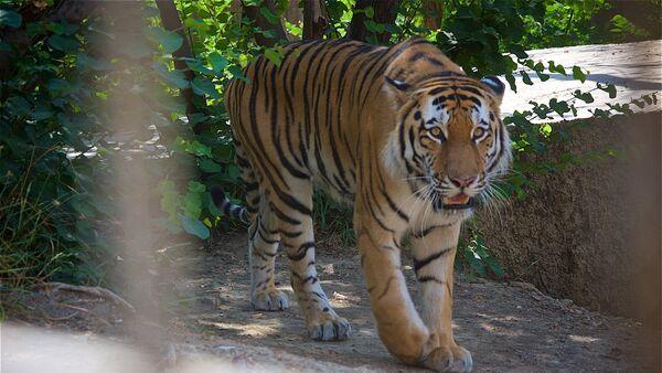 Уссурийский тигр Тори в тбилисском зоопарке - Sputnik Грузия