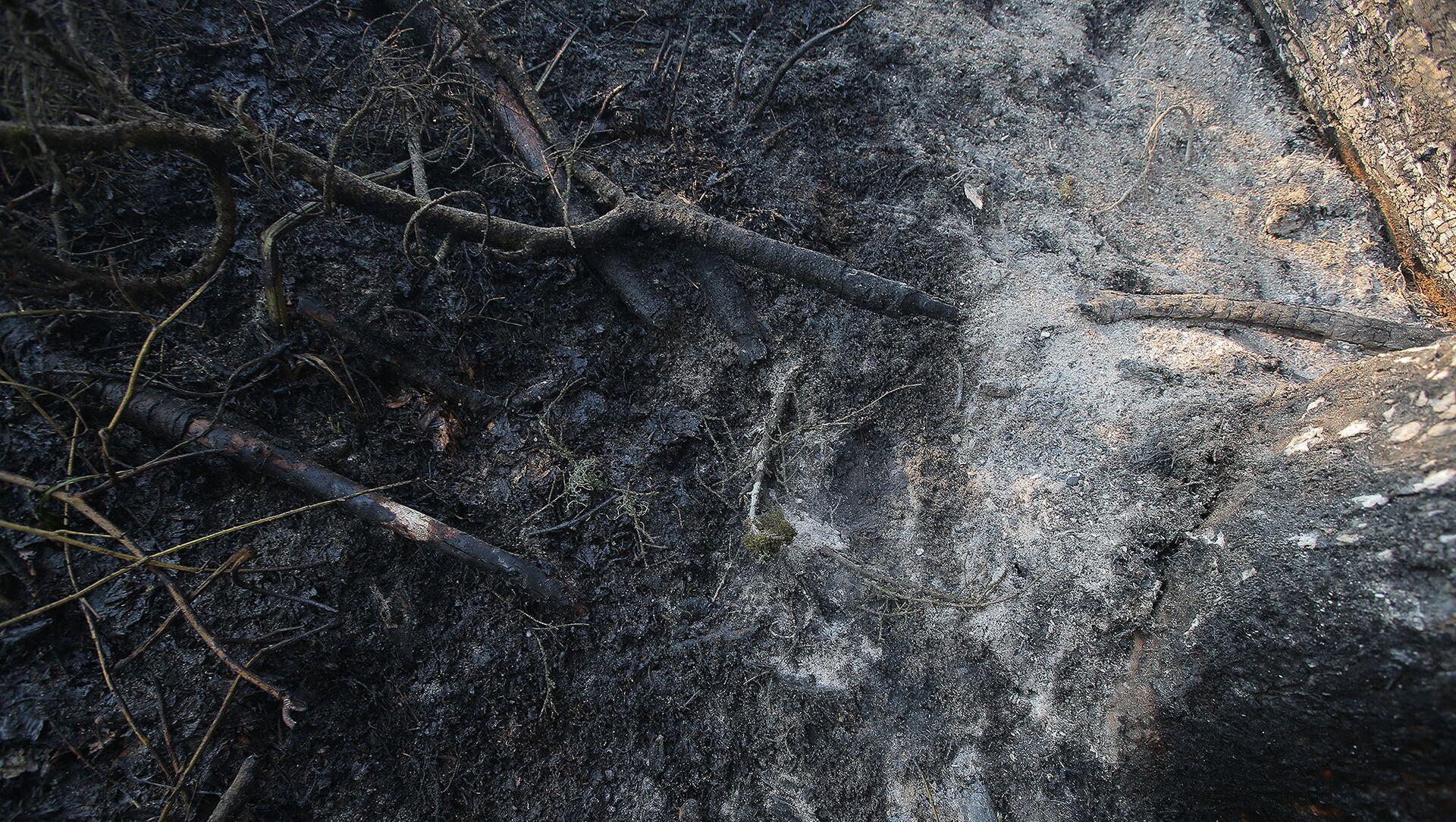 Сгоревшие ветви деревьев после пожара в Боржоми-Харагаульском лесу - Sputnik Грузия, 1920, 26.05.2021