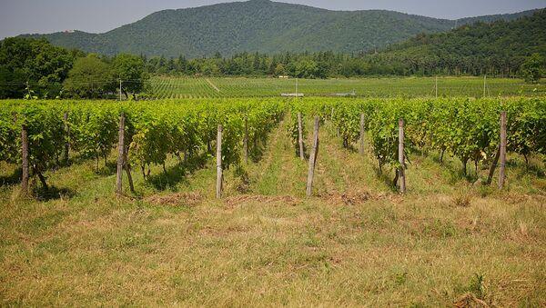 Виноградники в Кварельском районе - Sputnik Грузия
