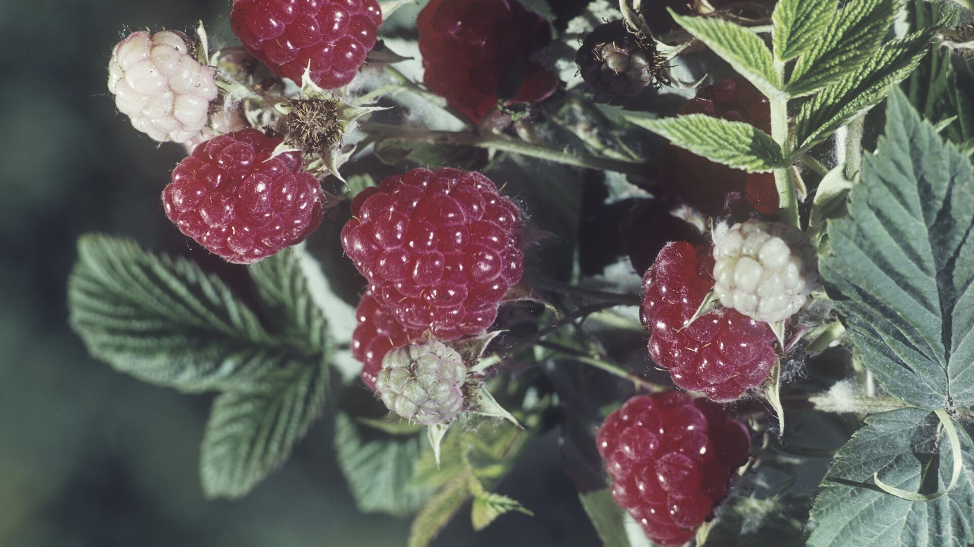Малина (Rubus idaeus) - Sputnik Грузия, 1920, 28.09.2021
