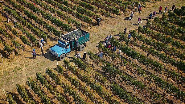 Ртвели - сбор урожая винограда в регионе Кахети - Sputnik Грузия