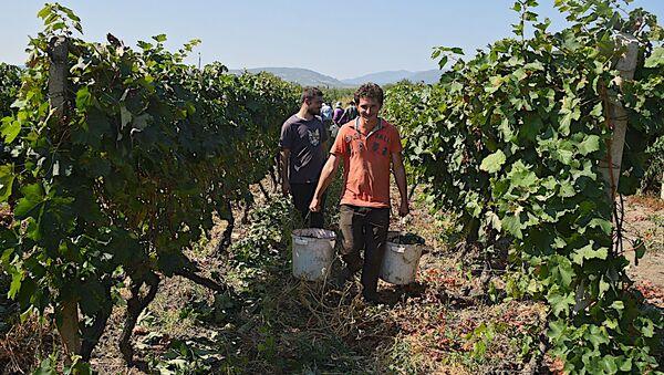 Фермеры в Кахети - Sputnik Грузия