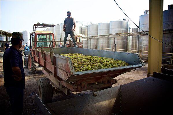 Субсидии для крестьян во время Ртвели-2017сохранятся только в высокогорном регионе Рача-Лечхуми на сорта Александроули и Муджуретули, где сбор винограда начинается примерно в первой декаде октября - Sputnik Грузия