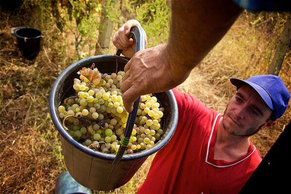 Неотъемлемой частью ртвели является древний способ приготовления вина — собранный виноград давят в специальной деревянной емкости ногами, босиком или в резиновых сапогах - Sputnik Грузия