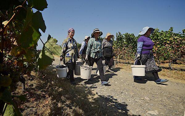 Лидирует по сдаче винограда компаниям Кварельский район - там крестьяне  и фермеры уже сдали на перерабатывающие заводы более 27 тысяч тонн винограда. Это более 26% от всего сданного винограда по всему региону Кахети - Sputnik Грузия