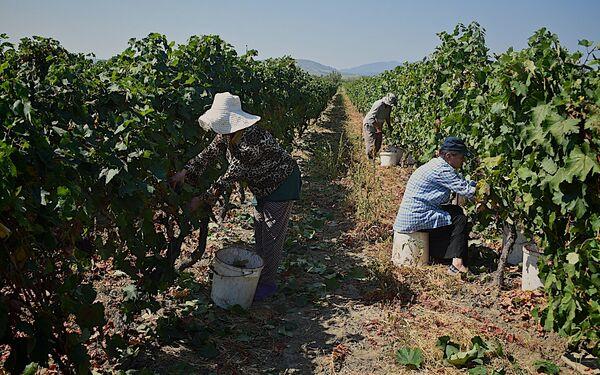 Именно в Дедоплисцкаро раньше всего созревает виноград - Sputnik Грузия