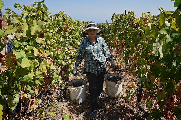 По последним данным, доход виноградарей в регионе Кахети от реализации винограда компаниям составил более 91 млн лари (около 37 млн долларов) - Sputnik Грузия
