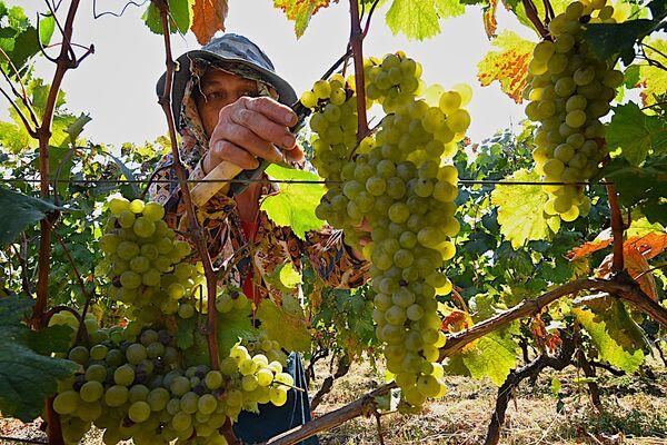 В 2017 году правительство Грузии решило больше не субсидировать фермеров в Кахети, как это было раньше, пояснив свое решение высоким спросом на виноград со стороны винодельческих компаний - Sputnik Грузия