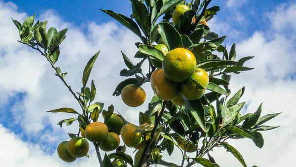 Мандарины из Аджарии на экспорт: как выглядят цитрусовые плантации - Sputnik Грузия