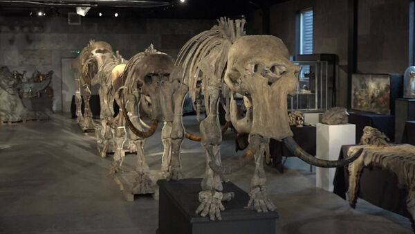 """Скелеты """"семьи"""" мамонтов, найденные в Сибири, уйдут с молотка - Sputnik Грузия"""