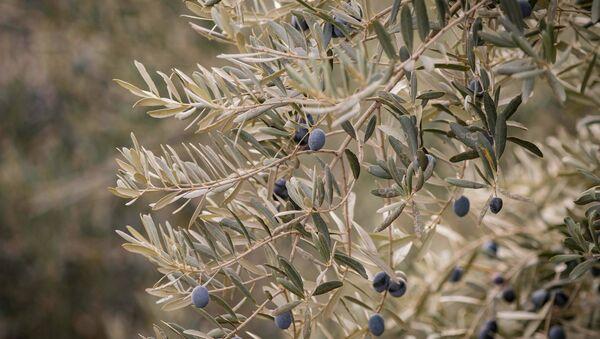 Оливковое дерево в Кахети - Sputnik Грузия