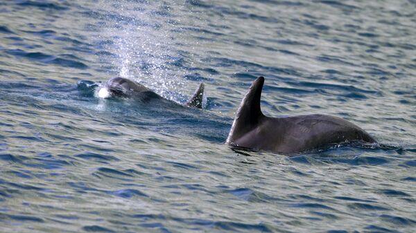 Дельфины в водах Черного моря - Sputnik Грузия