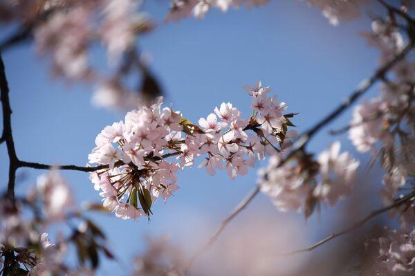 Цветение сакуры в экспозиции Японский сад Ботанического сада РАН в Москве - Sputnik Грузия
