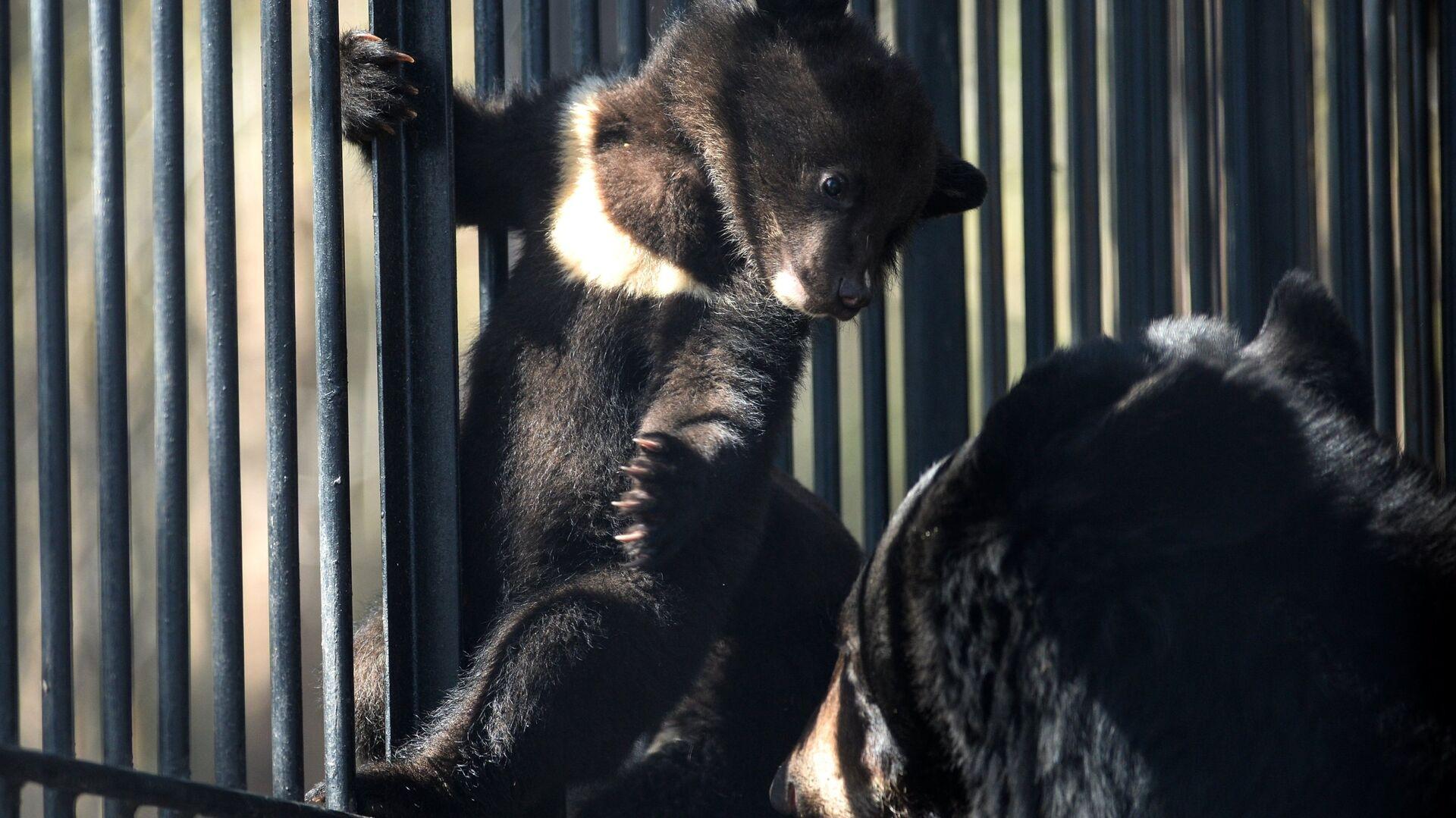 Гималайские медвежата в Новосибирском зоопарке - Sputnik Грузия, 1920, 17.09.2021