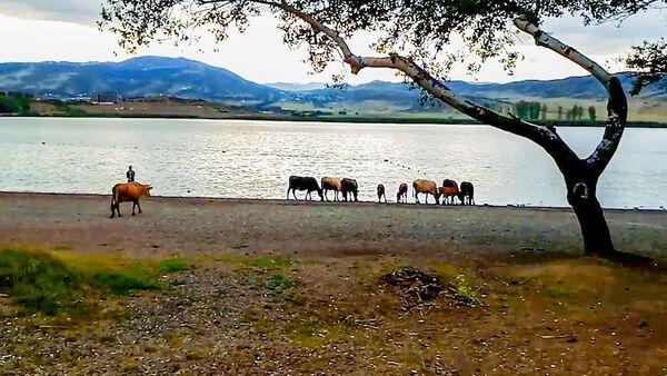 Стадо коров убежало от пастуха купаться в тбилисском озере Лиси - Sputnik Грузия