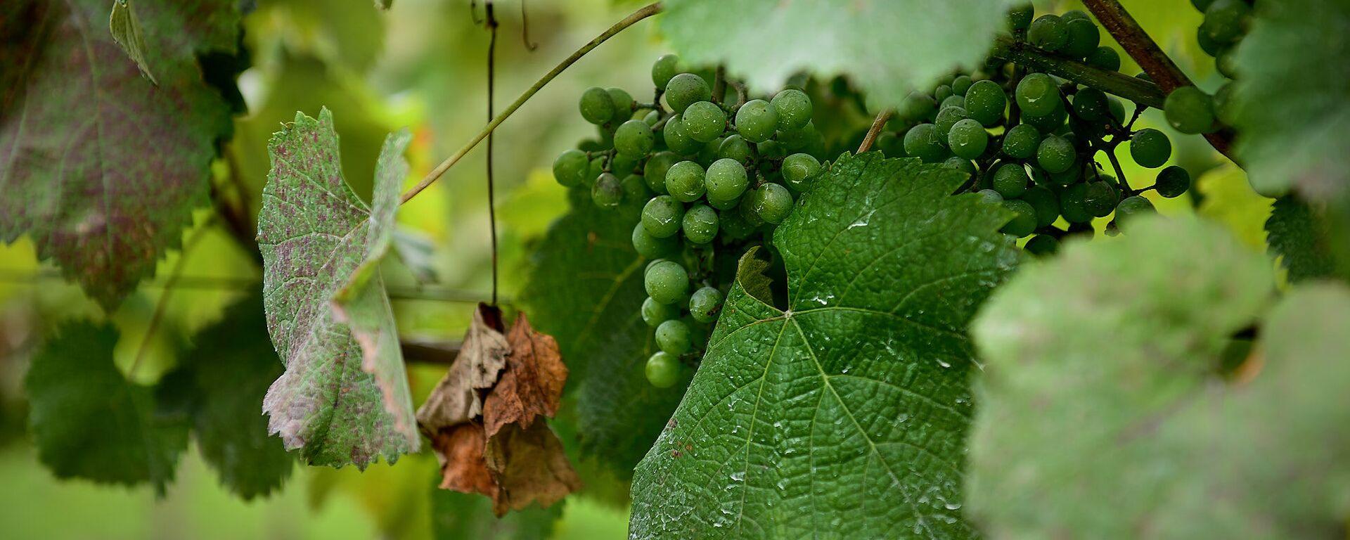 Виноград в винограднике - Sputnik Грузия, 1920, 27.08.2021