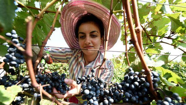 Сбор урожая винограда - Ртвели - в Гурджаанском районе в Кахети - Sputnik Грузия