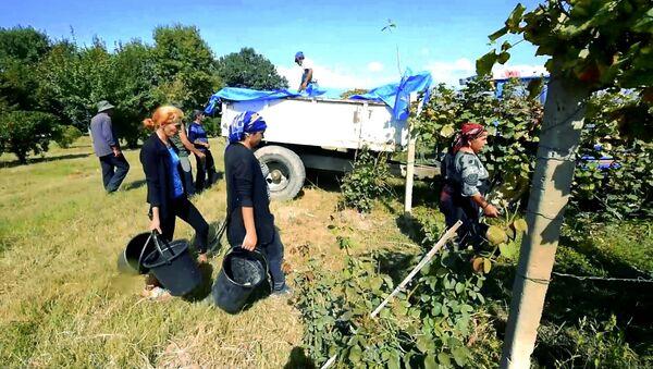 Ртвели в Кахети: как собирают урожай винограда в восточной Грузии - Sputnik Грузия