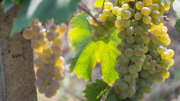 Сбор урожая винограда - Ртвели 2018 - Sputnik Грузия