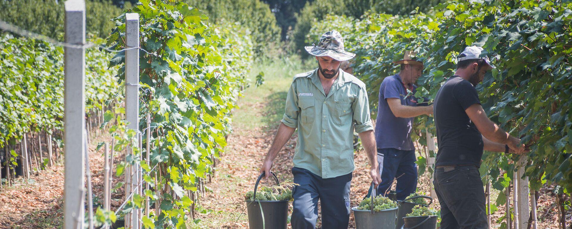 Сбор урожая винограда - Sputnik Грузия, 1920, 28.08.2021