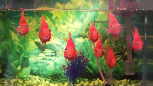 თევზები აკვარიუმში - Sputnik საქართველო