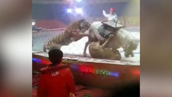 Тигр и лев напали на лошадь прямо на цирковой арене – шокирующее видео - Sputnik Грузия