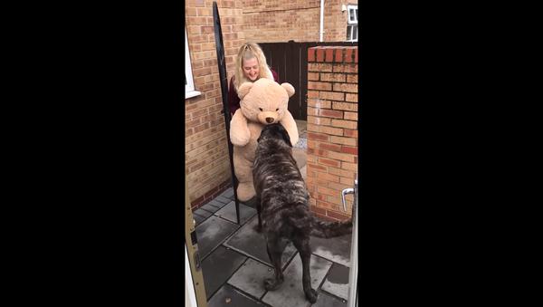 Собака получила в подарок огромного плюшевого мишку, и она счастлива – видео - Sputnik Грузия