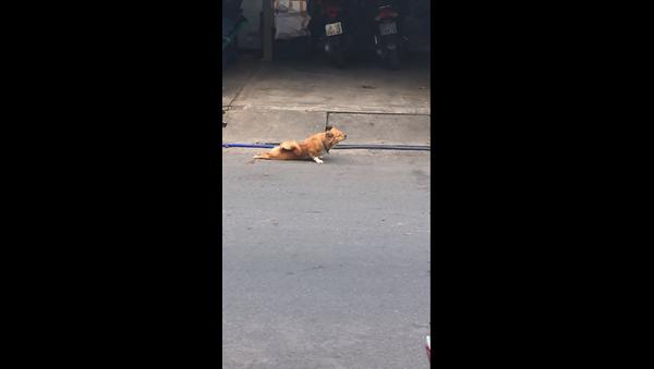 ქუჩის ძაღლი თათების ტრავმის იმიტაციის საშუალებით საკვების მოპოვებას ცდილობს - Sputnik საქართველო