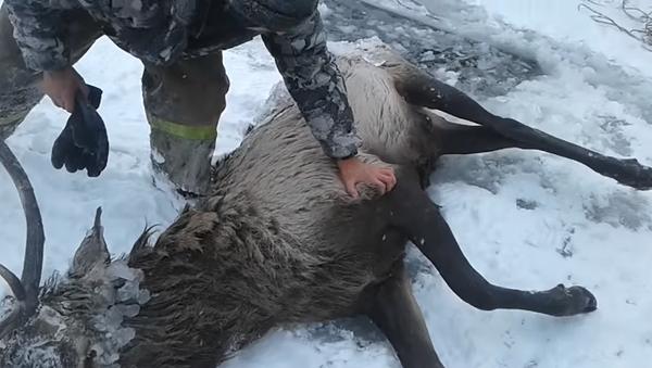 В Сибири мужчины спасли оленя, на долгие часы застрявшего в замерзшем озере – видео - Sputnik Грузия