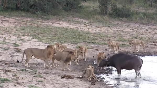 Буйвол перехитрил окружившую его стаю львов и сбежал невредимым – видео - Sputnik Грузия
