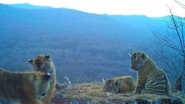 Игры амурских тигрят в парке Земля леопарда. Съемка камеры слежения - Sputnik Грузия