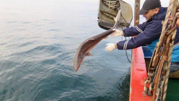 კატრანი ზვიგენი, რომელიც შავ ზღვაში გაუშვეს - Sputnik საქართველო