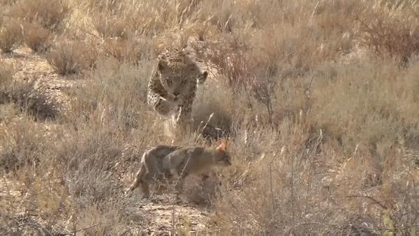 Охотник стал жертвой: дикая кошка не заметила леопарда и поплатилась – видео - Sputnik Грузия