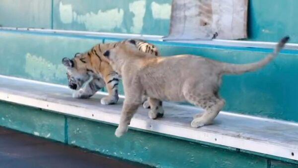 Дружба тигренка Смурфика и львенка Евы - Sputnik Грузия