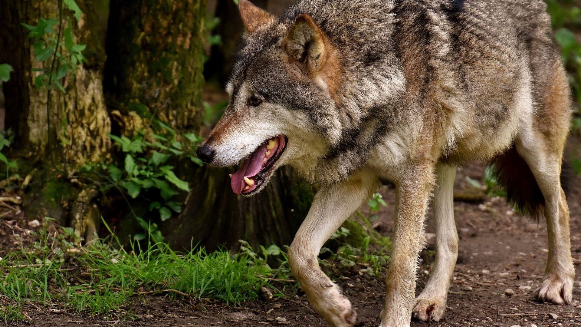 Волк в лесу - Sputnik Грузия, 1920, 16.09.2021