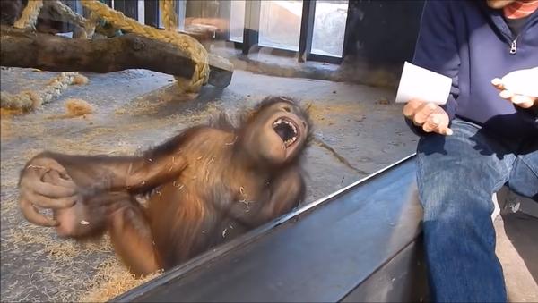მაიმუნებს ტრიუკებს უჩვენებენ - მათი განუმეორებელი რეაქციების კადრები - Sputnik საქართველო
