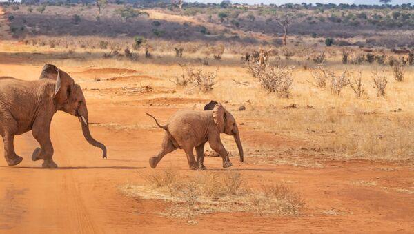 აფრიკული სპილოები - Sputnik საქართველო